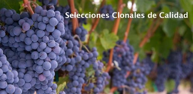 viña de plantas de uva