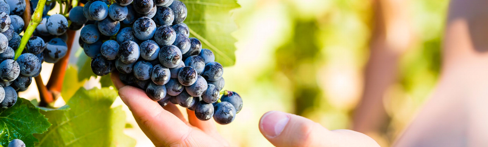 plantas de uvas