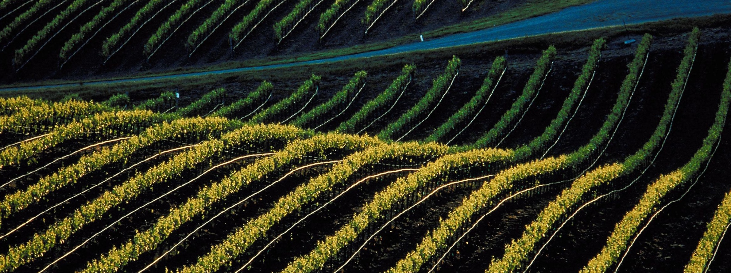 viñedo plantado con nuestras plantas de vid